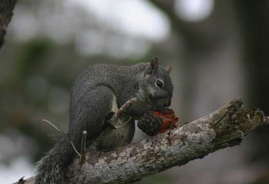 Grey squirrel snacking on blackberry