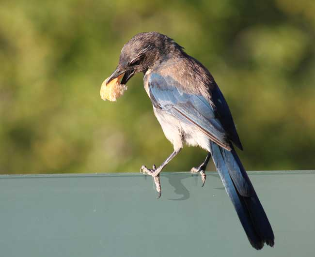 Bluejay bites off more than he can chew (everything eats)