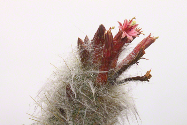 Very cool fuzzy cactus