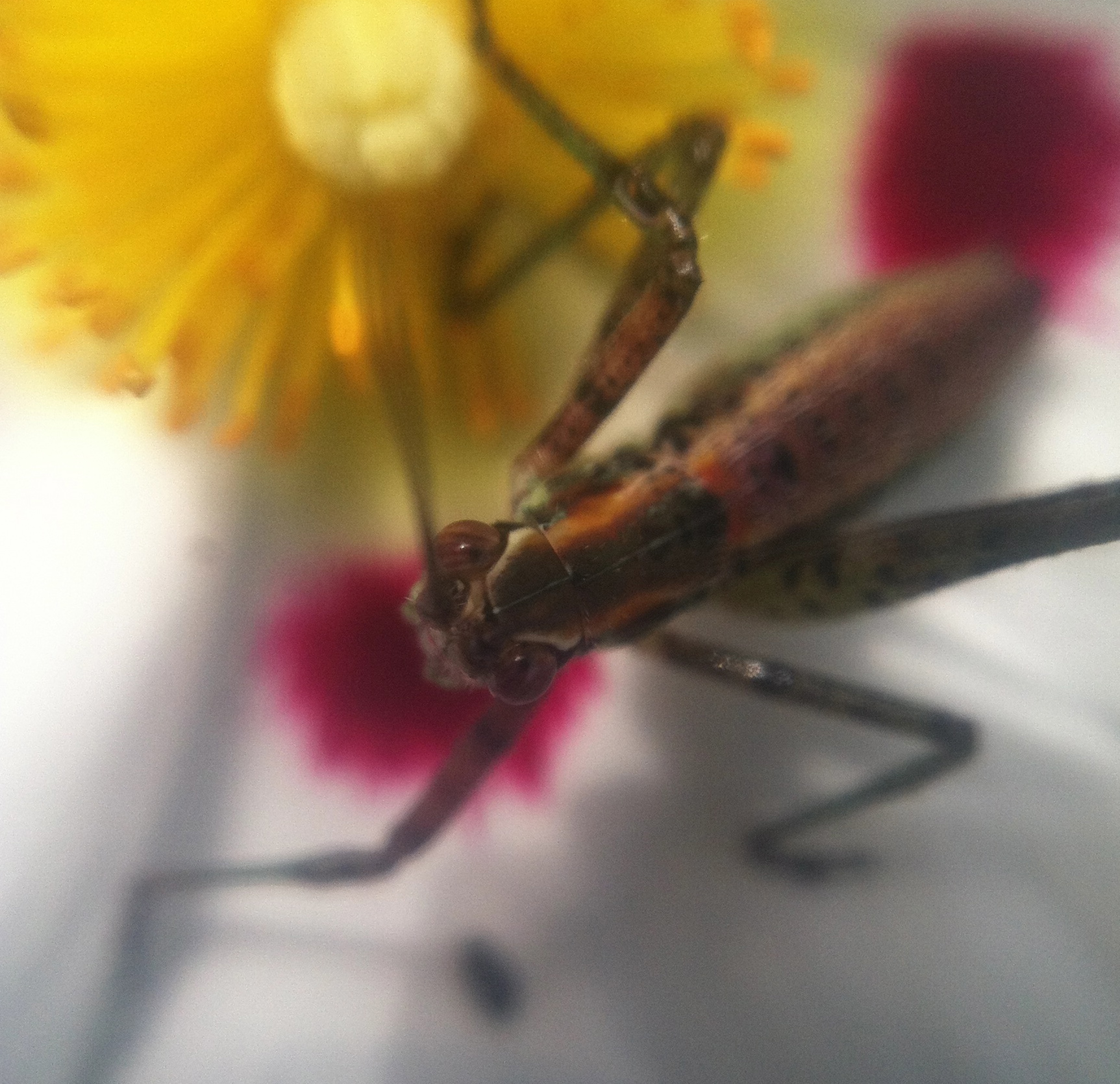 Baby cricket sipping nectar from a flower (everything eats)
