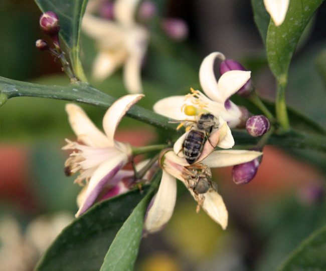 Honeybee and Meyer lemon blossom (everything eats)