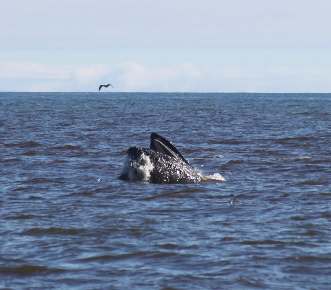 Everything Eats: Humpback Whales in the Monterey Bay